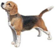 Beagle: Health Issues & Personality