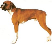 Skin Disorders In Boxer Dogs | 10 good facts