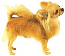 Pet Meds Online >> Chihuahua: Health Issues & Personality